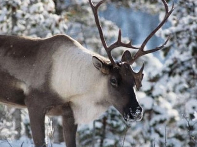 Their Land: Last of the Caribou Herd; and other shorts